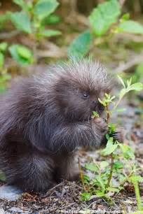 Baby Porcupine