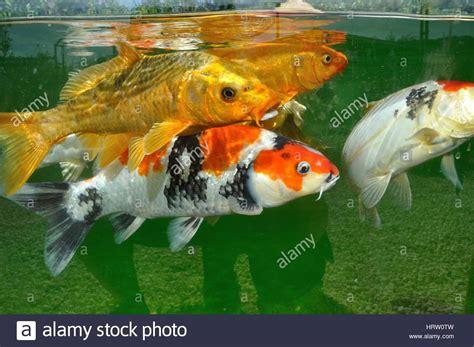 carpe koi dans aquarium carpes koi dans un bassin stockfoto lizenzfreies bild 135159161 alamy