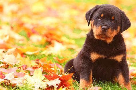 rottweiler dog names popular male  female names wag