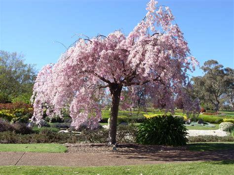 cherry blossom tree fotograf 237 a de cowra japanese garden cowra tripadvisor