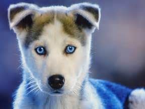 really baby husky puppies amazing wallpapers