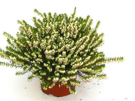 erika winterhart kaufen erica darleyensis englische erika versand g 228 rtnerei