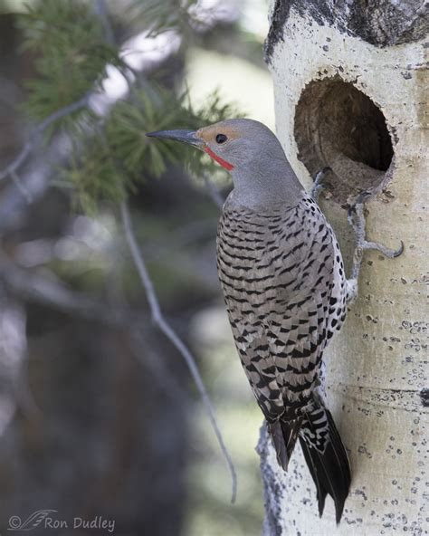 northern flicker at the nest cavity an antelope island