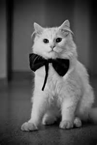 fancy cats 1000 ideas about fancy cats on kitty cats