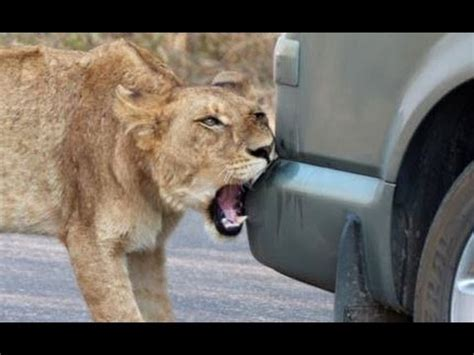 lion car lion versus a car 39 s bumper latest wildlife sightings