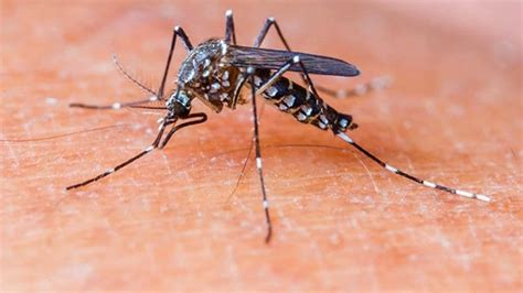 Genetically modified mosquitoes released in US to fight ...