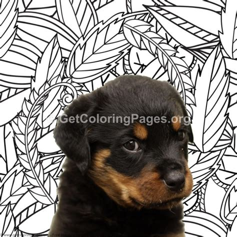 rottweiler coloring pages getcoloringpagesorg