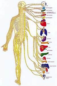 Nervous System Diagram | Diagram Site