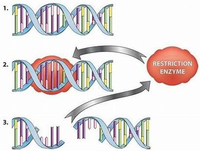 Restriction Enzyme Enzymes Dna Endonucleases Examples Cut