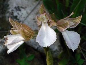 Pap Corse : hors region pcv les orchid es corses page 7 orchis papilionacea et orchis picta ~ Gottalentnigeria.com Avis de Voitures