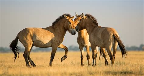 horse przewalski social horses grooming prehistoric each animals interaction wild clone herds highly often siberia discovered frozen towards seen equus