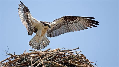 Images Of Osprey Osprey Audubon Field Guide