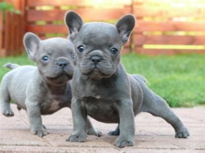 akc french bulldog puppies  sale