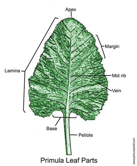 Leaf Part Diagram by Primula Leaf Glossary Primula World