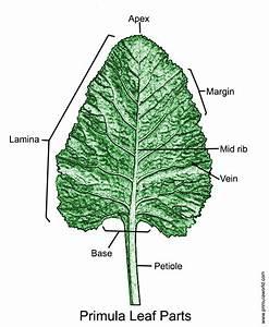 Primula Leaf Glossary