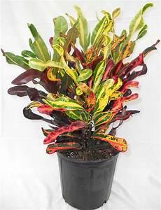 Plante Tropicale D Intérieur : plante tropicale croton feuilles de croton jaune plantes ~ Melissatoandfro.com Idées de Décoration