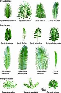 Diversity In Leaf Form For 15 Of The 32 Cycad Species Studied