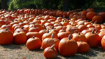 Pumpkin Patch Fall Halloween Pumpkins Wallpapers Widescreen