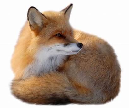 Fox Clipart Animals Transparent Yopriceville Previous
