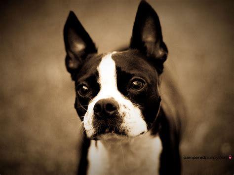 boston terrier  small dogs wallpaper  fanpop