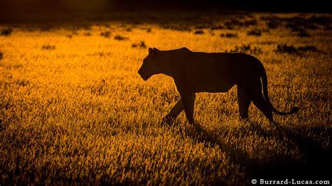 backlit lioness burrard lucas photography