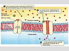 Transporte facilitado por proteínas » Blog de Biología