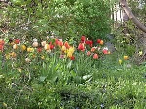Tulpen Im Garten : in schweden bluehen die tulpen erst im im mai foto ~ A.2002-acura-tl-radio.info Haus und Dekorationen