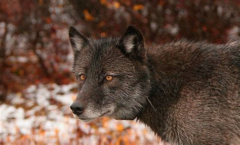 wolves  bernard marschner animals wolf alaska