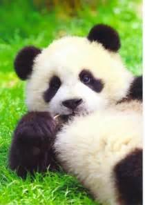 パンダ:パンダって何でこんなに可愛い ...