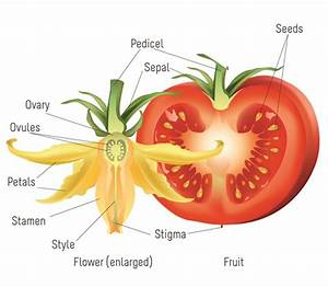 Cherry Tomato Diagram