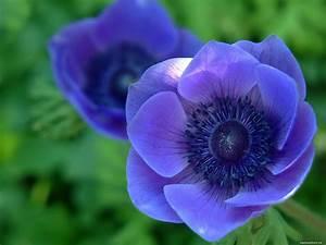 Blue flowers, dark blue, flowers, violet 1600x1200 ...