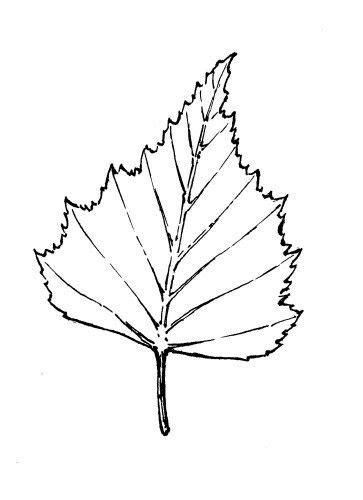 birkenblatt blatt tattoos baum zeichnung und baum blaetter
