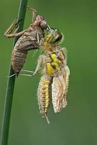 Was Fressen Molche Im Gartenteich : was fressen libellen v gel fressen libellen heimatverein arfeld e v libelle libellen ~ Orissabook.com Haus und Dekorationen