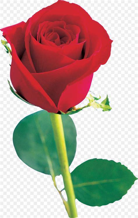 Single Rose Black Background