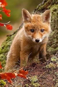 Cute baby fox | Animals | Pinterest
