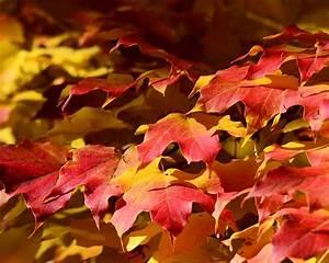 Ahorn Rote Blätter : rote bl tter ahorn herbst hintergrundbilder 1280x1024 hintergrundbilder download de best ~ Eleganceandgraceweddings.com Haus und Dekorationen