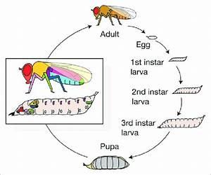 The Life Cycle Of Drosophila Melanogaster  Larvae Molt