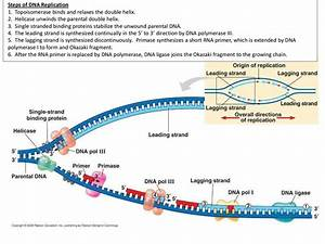 DNA Replication, RNA Structure & Function, and Compare DNA ...