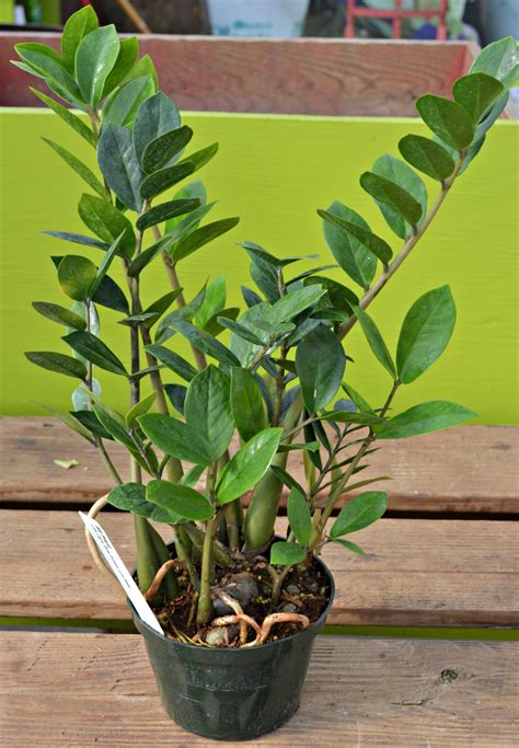 zz plant poisonous 100 zamioculcas poisonous plants for dogs how to grow zamioculcas zamiifolia zanzibar gem