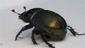 Meet An Insect  Scarab Beetle