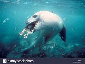 Leopard seal {Hydrurga leptonyx} with Adelie penguin prey ...