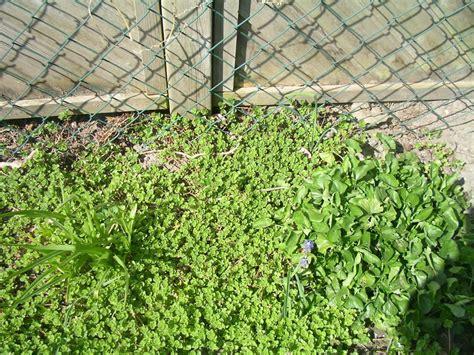Pflege Der Grundstücksgrenze Unkraut by Wie Hei 223 T Dieses Unkraut Giersch Pflanzenbestimmung