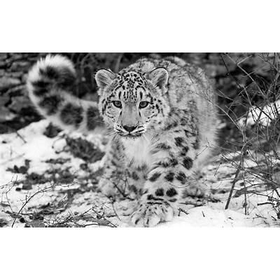 The Snow Leopard - SNSH