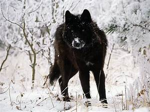 Black Wolf in Snow Facts And Photos | All Wildlife Photographs