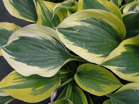 large hostas shade large hostas get the spotlight carolyn s shade gardens