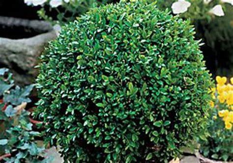 boxwood globe landscaping gardening pinterest
