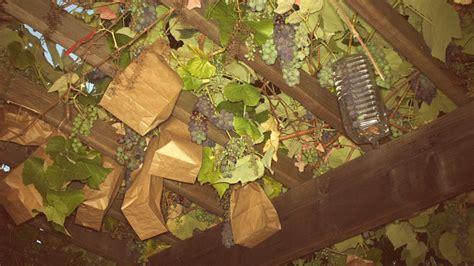 squirrels  rats  eating  grapes