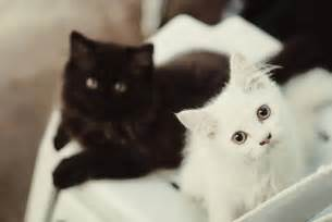 black cat white cat apod 2013 july 29 saturn titan rings and
