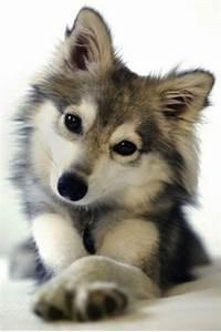 Pin Pomeranian Husky Mix Dogs For Sale Ajilbabcom Portal ...