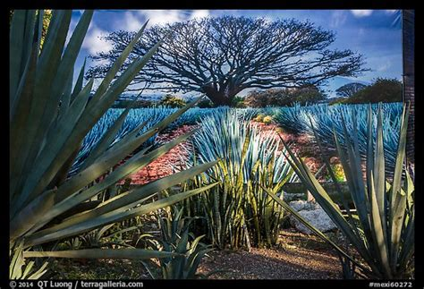 picturephoto blue agaves  pictures  agave landscape